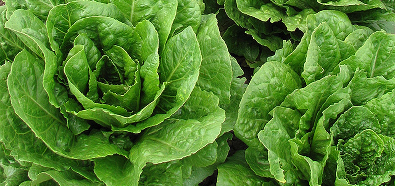 Getting greener: USDA identifies romaine lettuce with longer shelf lives