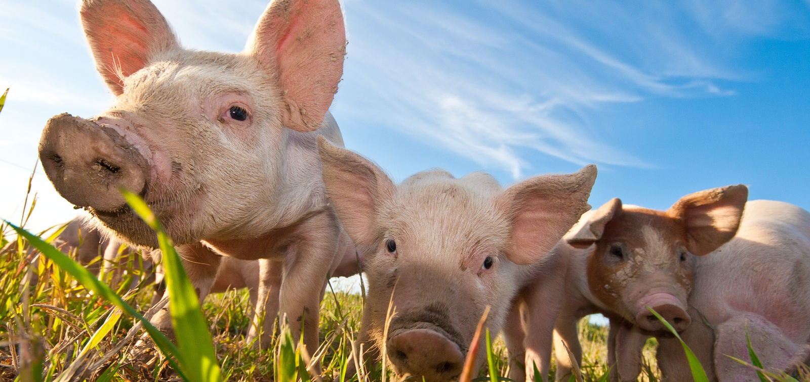 DOJ clears pork industry's plan to collaborate on euthanizing hogs